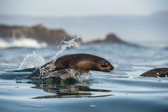 Umping out of water Cape fur seal (Arctocephalus pusillus pusillus) Royalty Free Stock Image