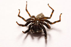 Umping Spider over White background Royalty Free Stock Images