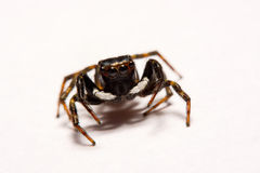 Umping Spider over White background Royalty Free Stock Photos