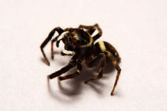 Umping Spider over White background Stock Photos