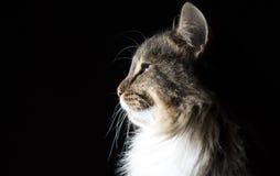 Umreißen Sie Schattenbildporträt der schönen flaumigen Katze auf einem schwarzen Hintergrund Stockfotos