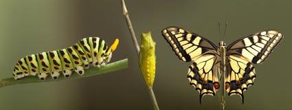 Umwandlung gemeinen machaon Schmetterlinges, der vom Kokon auftaucht lizenzfreie stockfotos