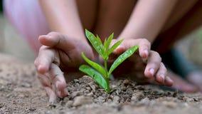 Umwelt-Tag der Erde in den H?nden von den B?umen, die Holdingbaum der S?mlinge weiblichen Handauf Naturfeldgras Walderhaltung c w stock footage