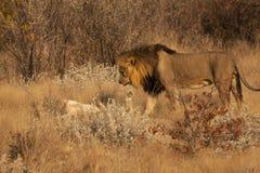 Umwerbung zwischen Löwe und Löwin Stockbilder