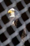Un águila calva en fuerza y la dignidad presentan detrás de la cerca de cadena, fa imagenes de archivo