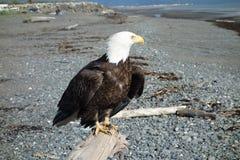 Un águila calva en la playa del home run Imagen de archivo libre de regalías