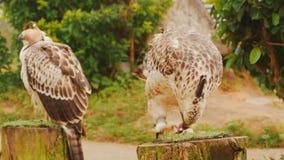 Un águila de la estepa atada a un polo come la carne metrajes