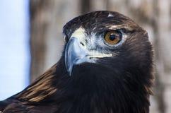 Eagle de oro Imagen de archivo