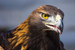 Eagle de oro Foto de archivo