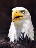Un águila de pescados Fotos de archivo libres de regalías