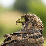 Un águila examina sus alrededores en una versión parcial de programa del rapaz Fotos de archivo