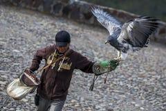 Un águila Negro-de pecho del halcón aterriza en la mano con guantes de un controlador del pájaro en el parque del cóndor en Otavo Fotos de archivo libres de regalías