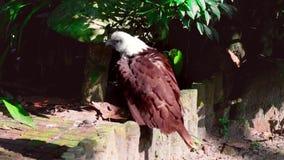 Un águila que disfruta del calor temprano de la luz del sol almacen de video