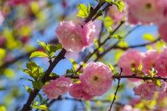 Un ámbar de la primavera subió belleza imagenes de archivo