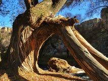 Un árbol único en Capadocia Imagen de archivo
