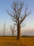 Un árbol alto de Boabab en un llano herboso Imagen de archivo