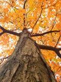Un árbol anaranjado en un día de Halloween Fotografía de archivo libre de regalías