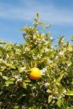 Un árbol anaranjado en flor lleno de la primavera Imagenes de archivo