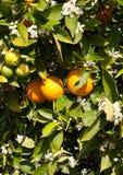 Un árbol anaranjado en flor lleno de la primavera Imagen de archivo libre de regalías