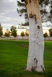 Un árbol anudado Imagen de archivo libre de regalías