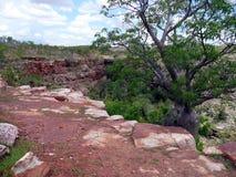 Un árbol australiano de la botella Imágenes de archivo libres de regalías