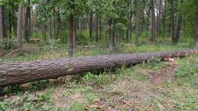 Un árbol caido grande miente en el bosque del otoño almacen de video