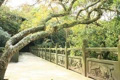 Un árbol chino centenario fotos de archivo