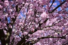 Un árbol coloreado rosado fotografía de archivo libre de regalías