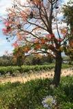 Un árbol con las bayas rojas Fotos de archivo libres de regalías