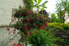 Un árbol con las flores rojas en el jardín Imagenes de archivo