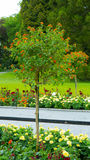 Un árbol con las pequeñas flores anaranjadas Fotos de archivo libres de regalías
