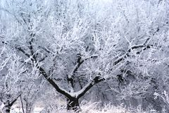 Un árbol con una corona lujosa es adornado por una escarcha blanca foto de archivo libre de regalías