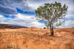 Un árbol crece en el parque nacional de Coral Pink Sand Dunes Utah Ziona fotos de archivo libres de regalías