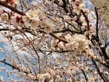 Un árbol cubierto con las flores blancas en la primavera imágenes de archivo libres de regalías