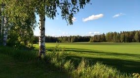 Un árbol de abedul al lado del campo en el verano fotografía de archivo