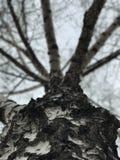 Un árbol de abedul alto en el medio de un pequeño pueblo en Ucrania Fotos de archivo libres de regalías
