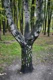 Un árbol de abedul con tres troncos Fotografía de archivo