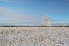 Un árbol de abedul congelado en campo del invierno y el cielo azul Imagenes de archivo