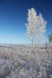 Un árbol de abedul congelado en campo del invierno y el cielo azul Imagen de archivo libre de regalías
