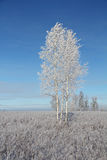 Un árbol de abedul congelado en campo del invierno y el cielo azul Fotografía de archivo