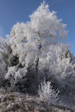 Un árbol de abedul cubierto con la helada blanca en día soleado frío del invierno Imagenes de archivo