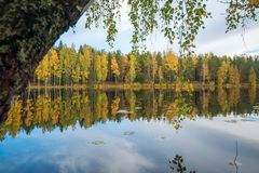 Un árbol de abedul doblado al lago Autumn Landscape Imagenes de archivo