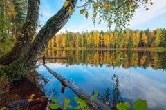 Un árbol de abedul doblado al lago Autumn Landscape Foto de archivo