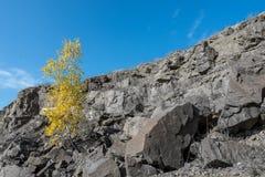 Un árbol de abedul en la piedra Imagen de archivo