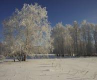 Un árbol de abedul en un claro en helada en un día soleado escarchado Foto de archivo libre de regalías