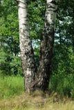Un árbol de abedul en verano Foto de archivo libre de regalías