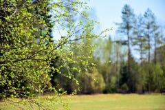 Un árbol de abedul floreciente Imagen de archivo