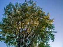 Un árbol de abedul grande sobre el cielo azul Foto de archivo libre de regalías