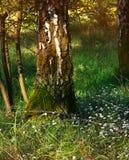 Un árbol de abedul hermoso en la madera en el sol de la tarde Fotografía de archivo libre de regalías