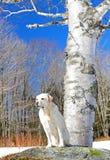 Un árbol de abedul hermoso y un perro Foto de archivo libre de regalías